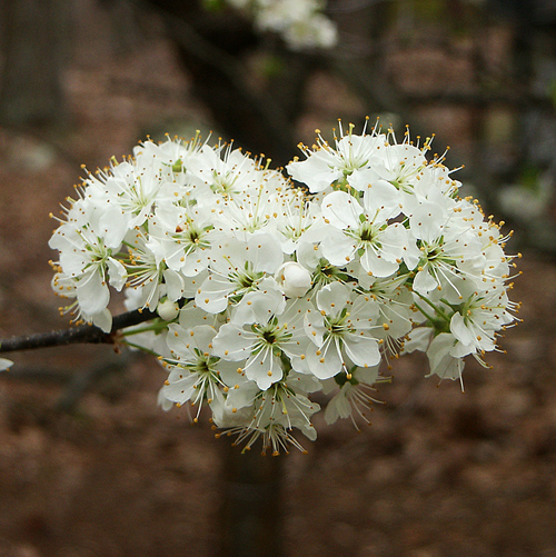 Red Plum Blossom