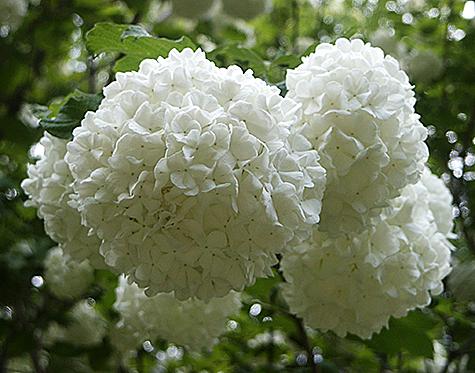 Snowball Bush Viburnum Opulus Sterile